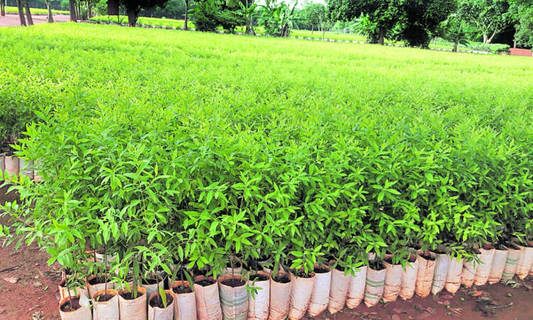 Best Tree Sapling Plant supplier and Nursery in Dindigul
